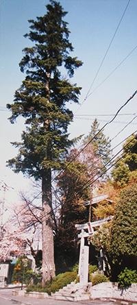 社頭のモミの木